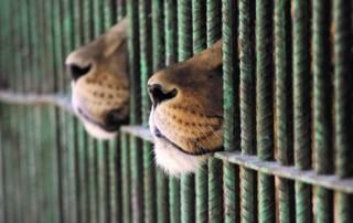 leoni leonesse imprigionate